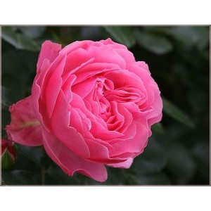 Rosa 'Leonardo da Vinci', floribundroos