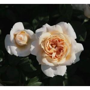 Rosa 'Lions Rose', floribundroos