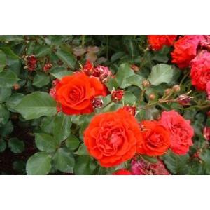 Rosa 'Nina Weibull', floribundroos