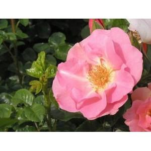 Rosa 'Pink Robusta', pargiroos