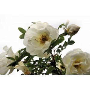"""Rosa pimpinellifolia   / Näärelehine kibuvits  (""""Mairoos"""")"""