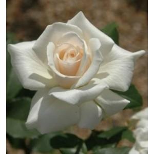 Rosa 'Pascali', teehübriidroos