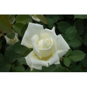Rosa 'Polarstern', teehübriidroos