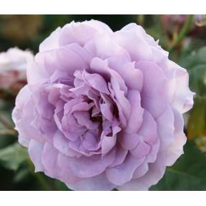 Rosa 'Novalis' , floribundroos