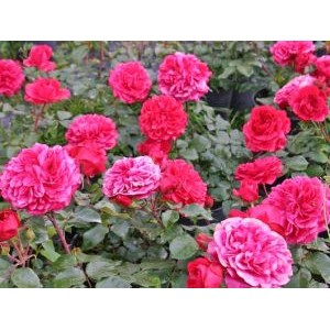 Rosa 'Red Leonardo da Vinci', floribundroos