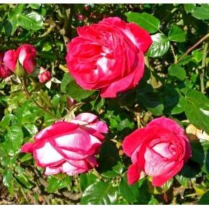 Rosa 'Rose Gaujard', teehübriidroos