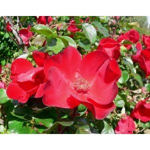 Rosa 'Robusta', pargiroos