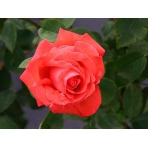 Rosa 'Super Star', teehübriidroos