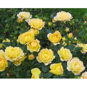 Rosa 'Fairy Yellow', pinnakatteroos