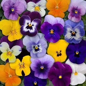 Viola x hybrida / Sarvkannikese hübriidid