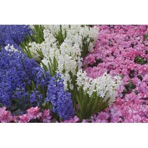 Hyacinthus / Hüatsint