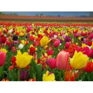 Tulipa / Tulp