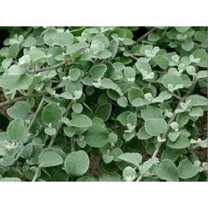 Lamav käokuld/Helichrysum petiolare (suure lehega)