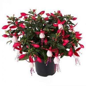 Värdfuksia 'Evita'/Fuchsia hybrida