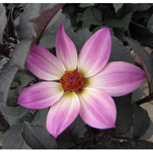 Daalia/Dahlia hortensis