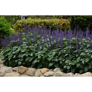 Salvia 'Big Blue'/Salvia x hybrida 'Big Blue' F1