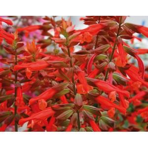 Salvia 'Salmia' /Salvia x hybrida 'Salmia'