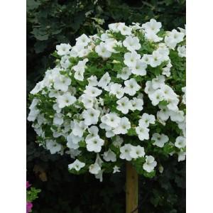 Rippuv petuunia/Petunia atkinsiana