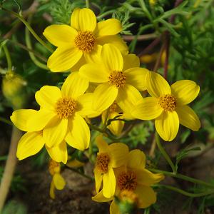 Feerulalehine ruse/Bidens ferulifolia