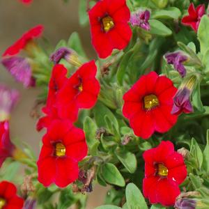 Aed-puispetuunia/Calibrachoa hybrida