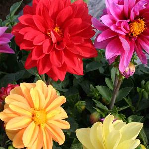 Madal suvedaalia 'Figaro'/Dahlia variabilis