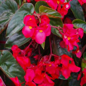 Hübriidbegoonia 'Dragon Wing'/ Begonia hybrida
