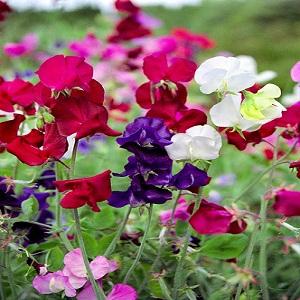 Lõhnav lillhernes/Lathyrus odoratus