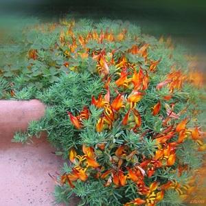 Laiguline nõiahammas/Lotus maculatus