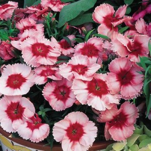 Hiina nelk 'Super Parfait Strawberry'/Dianthus chinensis
