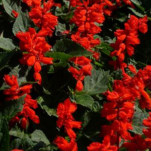 Leeksalvei/Salvia splendens