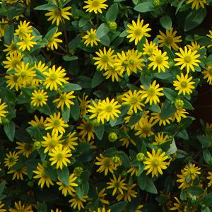 Lamav sanvitaalia/Sanvitalia procumbens
