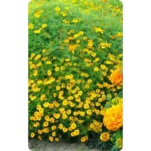 Ahtalehine peiulill 'Ursula'/Tagetes tenuifolia