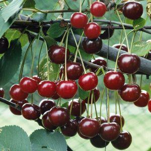 Prunus cerasus 'Hindeburg' / Hapu kirsipuu 'Hindeburg'