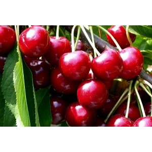 Prunus avium 'Meelika' / Magus kirsipuu e. murel 'Meelika'