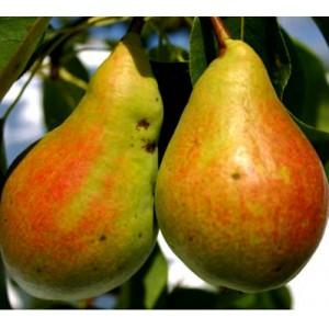 Pyrus communis 'Pepi' / Harilik pirnipuu 'Pepi'