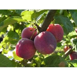 Prunus domestica 'Edinburgh' / Ploom 'Edinburgh'