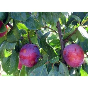 Prunus domestica 'Jubileum' / Ploom 'Jubileum'