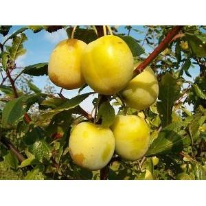 Prunus domestica 'Liivi Kollane Munaploom' / Aed-ploomipuu 'Liivi Kollane Munaploom'