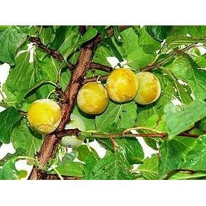 Prunus domestica 'Oullinsi Renklood' / Aed-ploomipuu 'Oullinsi Renklood'