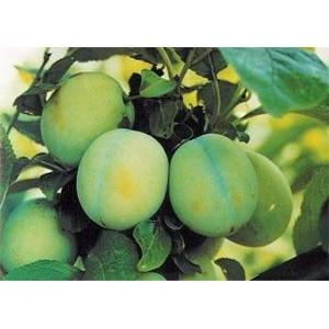 Prunus domestica 'Ontario' / Aed-ploomipuu 'Ontario'
