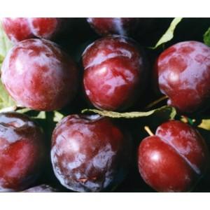 Prunus domestica 'Ave' / Aed-ploomipuu 'Ave'