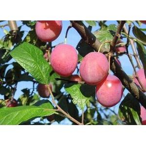 Prunus domestica 'Victoria' / Aed-ploomipuu 'Victoria'