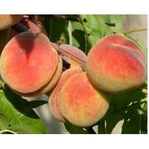 Prunus persica 'Maira' / Harilik virsikupuu 'Maira'