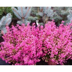 Erica gracilis / Sale eerika