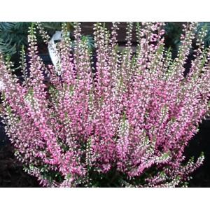 Calluna vulgaris cv. / Hariliku kanarbiku sordid