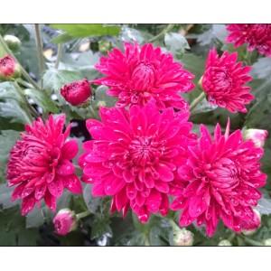 Chrysanthemum / Krüsanteem