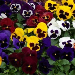 Viola × wittrockiana / Võõrasema (aedkannike) erinevad sordid